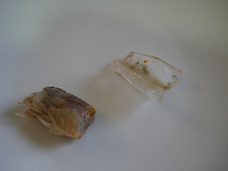 cabeza gamba pelada