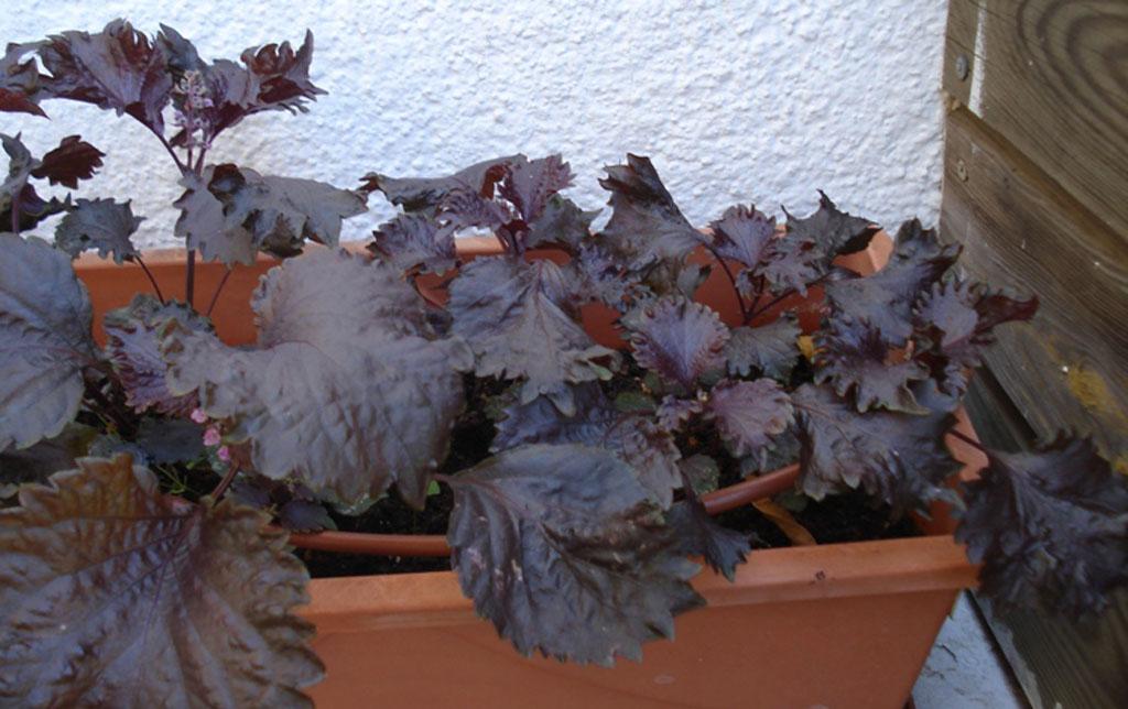detalle hojas sisho