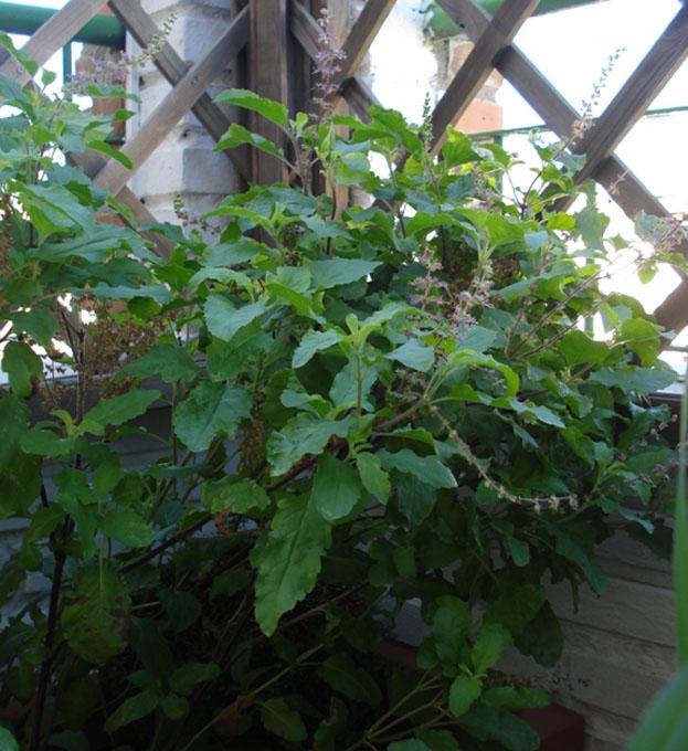 hoary basil planta