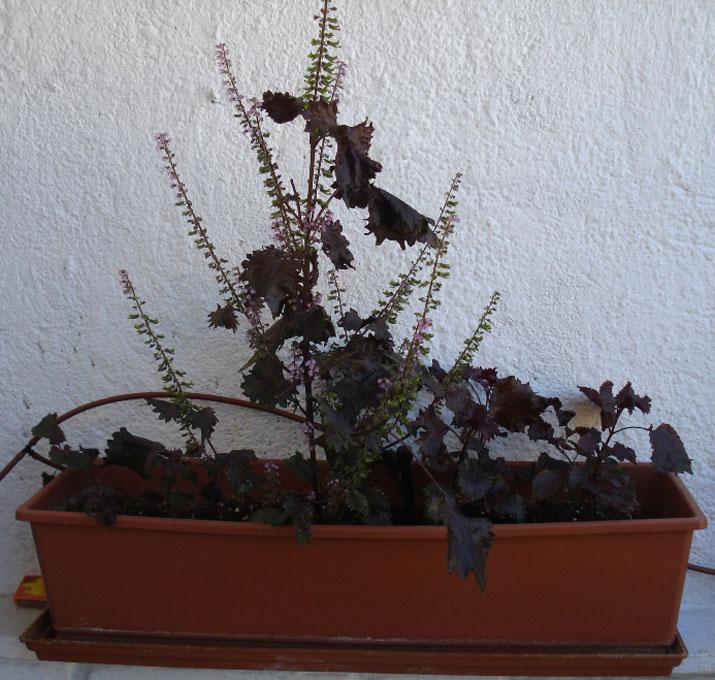 planta sisho